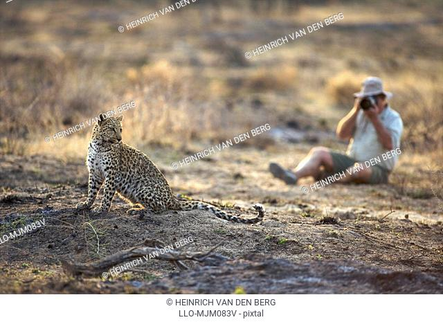 Photographer photographing Leopard Panthera pardus, Namibia