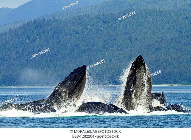 Bubble feeding Bubble net feeding  Humpback whale  Megaptera novaeangliae  Order: Cetacea Suborder: Mysticeti Family: Balaenopteridae