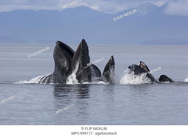 Humpback Whale Megaptera novaeangliae pod cooperative feeding, Southeast Alaska