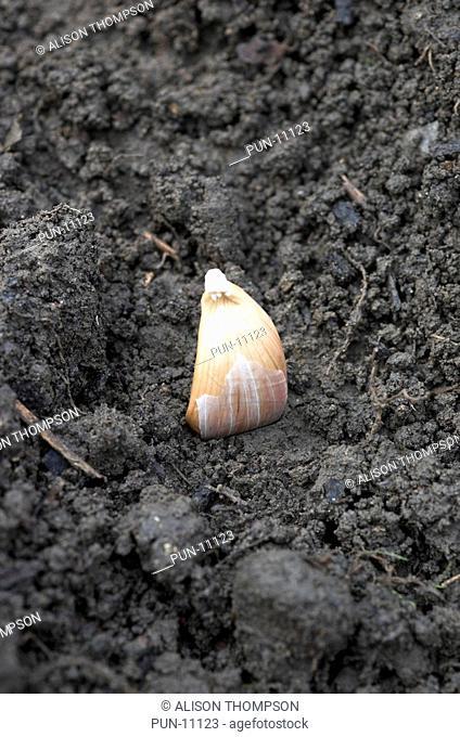 Planting cloves of solent white garlic for a summer crop of garlic