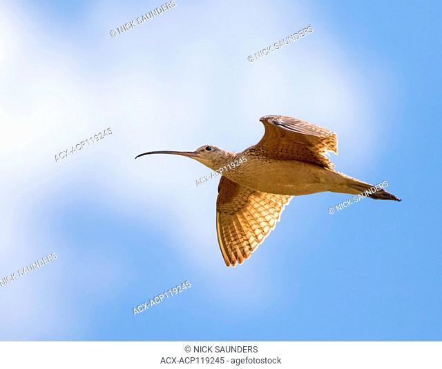 A Long-billed Curlew, Numenius americanus in flight near Goose Lake, Saskatchewan, Canada