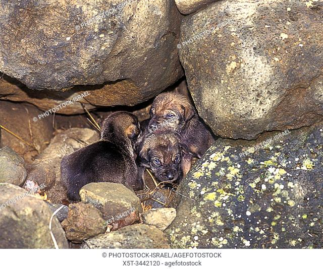 Arabian wolf (aka desert wolf Canis lupus arabs) pups in the den. This wolf is subspecies of gray wolf. Photographed in Israel, Negev desert