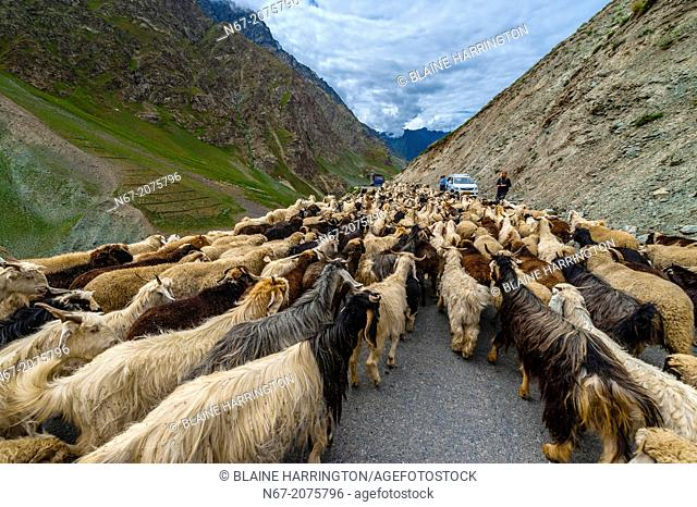 Sheep and goats being herded, Leh-Manali Highway, Himachal Pradesh, India