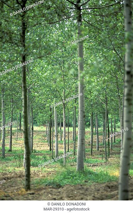 poplar trees, piacenza, italy
