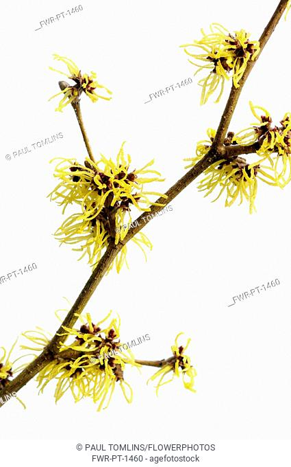 Witch hazel, Hamamelis x intermedia 'Pallida', A branch of shaggy long thin petalled yellow flowers against a white backgound