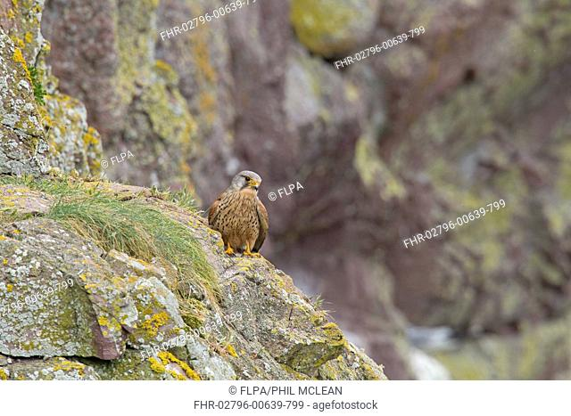 Common Kestrel (Falco tinnunculus) adult male, perched on rocky outcrop near nestsite on ledge of sea cliff, St. Abb's Head National Nature Reserve