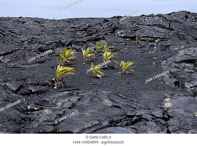 cocos, palms, lava, kaimu beach, Big Island, Hawaii, USA, United States, America