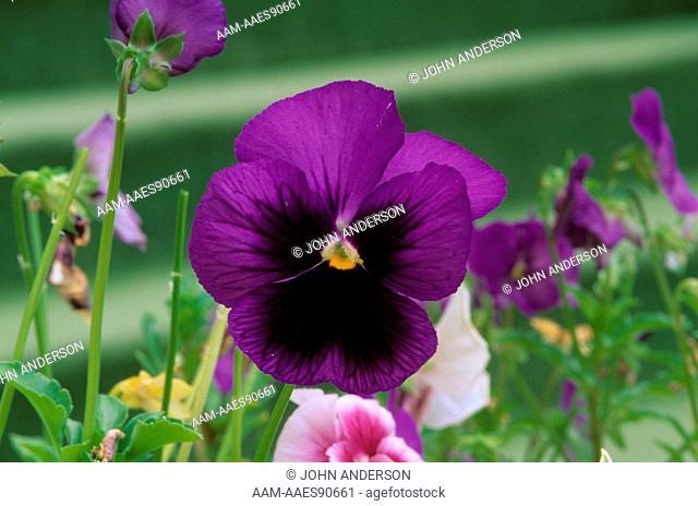 Garden Pansy, (Viola wittroiana),North Carolina