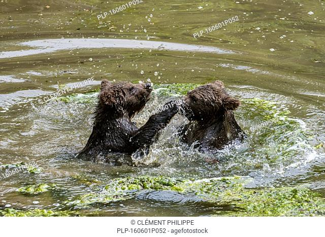 Two playful brown bear (Ursus arctos) cubs having fun by playfighting in water of pond in spring
