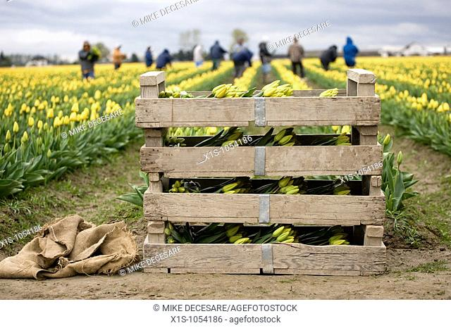 Wooden crate and burlap sacks at the head of a tulip field with workers out of focus in the background