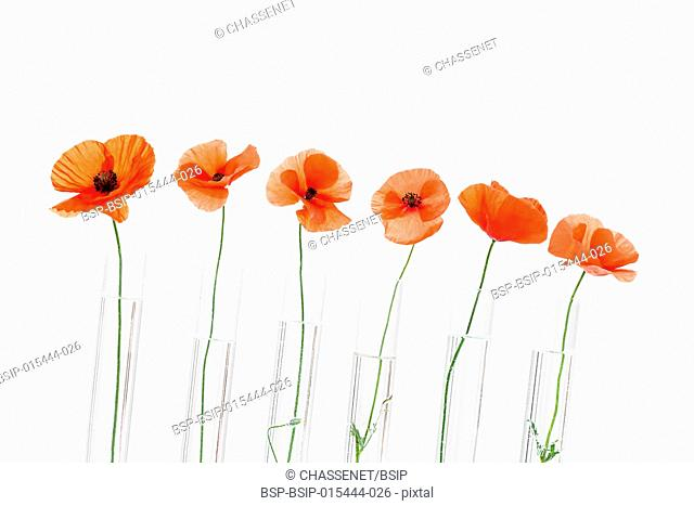 Poppy in test tube for herbal medicine and essential oil on concept of medicinal research