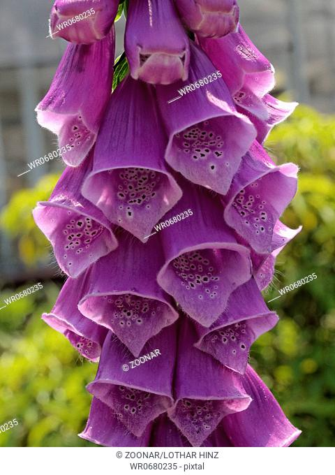 Purple Foxglove, Lady's Glove, Digitalis purpurea