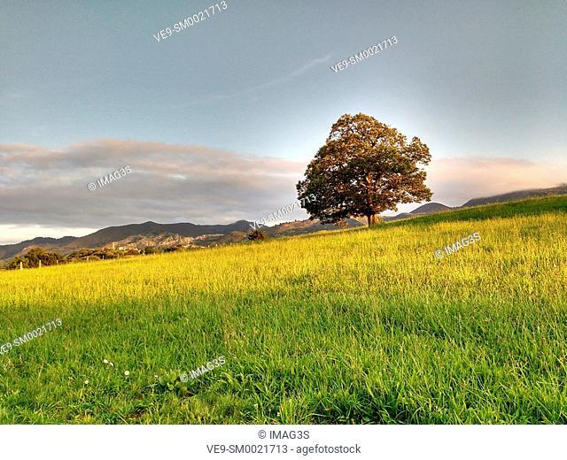 Oak tree and meadow, Nava, Asturias, Spain
