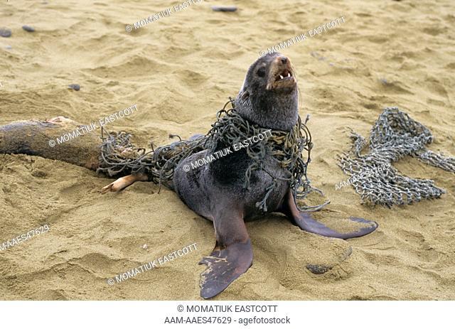 N. Fur Seal (Callorhinus ursinus), entangled, dragged injured seal on beach,  St. Paul's Isl., Pribilofs, AK