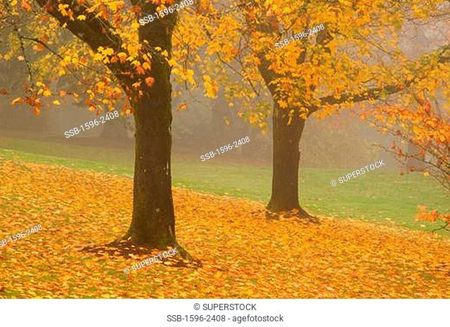 Maple trees in a park, Hoyt Arboretum, Washington Park, Portland, Oregon, USA
