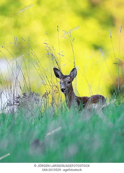 Roe deer, Botkyrka, Stockholm, Sweden