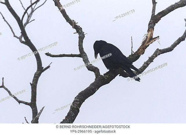 Carrion crow (Corvus corone), adult perched on tree, Mattheiser forest, Trier, Rhineland-Palatinate, Germany