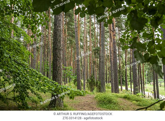 Pine forest in the Latvian Ethnographic Open-Air Museum. Riga, Latvia, Baltic States, Europe