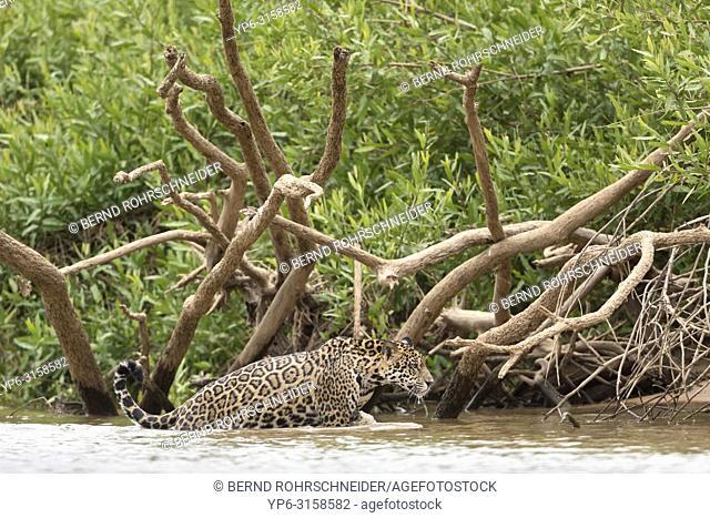 Jaguar (Panthera onca), young going out of a river, Pantanal, Mato Grosso, Brazil