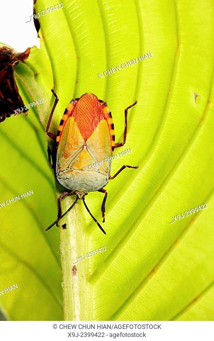 Marmorated Stink Bug, True bug, Asia