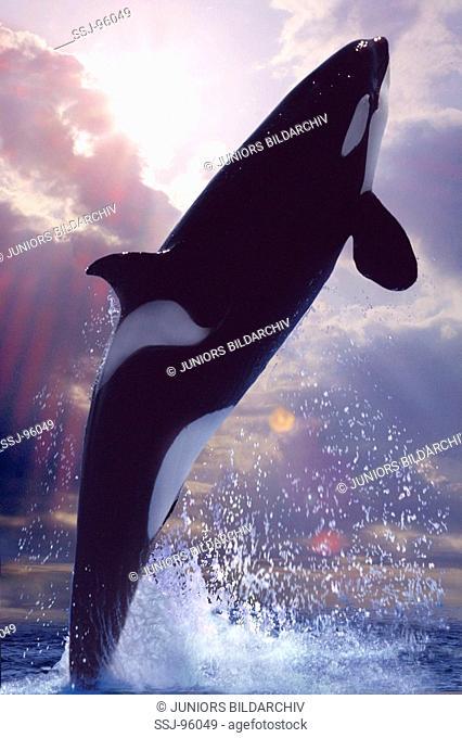 Orcinus orca / Killer whale