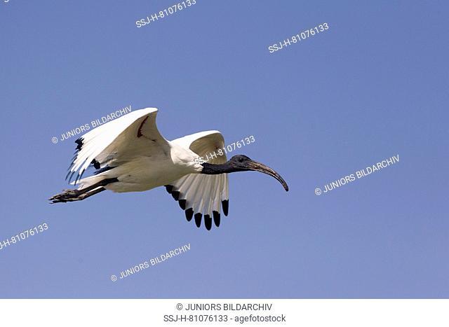 Sacred Ibis (Threskiornis aethiopicus) in flight. Ziway Lake, Ethiopia