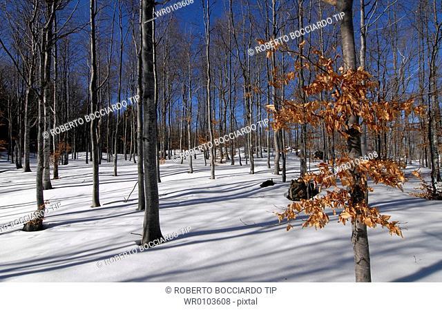 Italy, Liguria, Genoa, Aveto Park.Snow covered forest