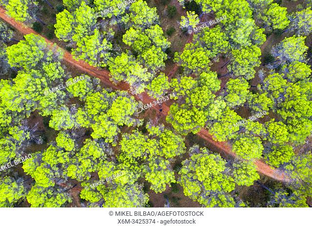 Pine grove. Ayegui, Navarre, Spain, Europe