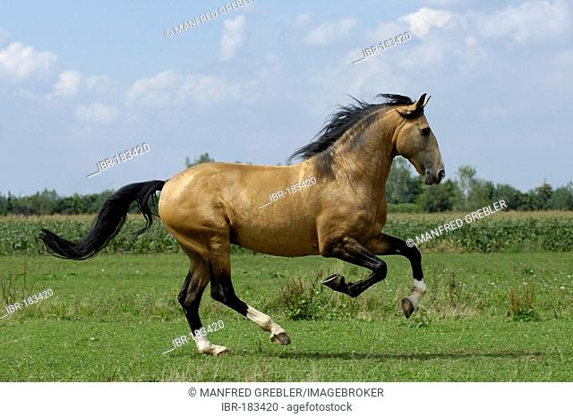 Lusitano horse stallion galloping on the paddock