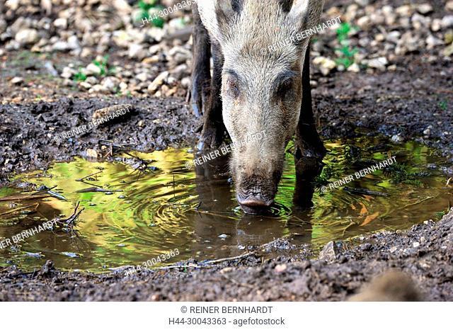 Pigs, real pigs, cloven-hoofed animals, sow, making a mess, black smock, black game, pig, pigs, Suckel, Sus scrofa scrofa, mammals, wild boar: Wild boars