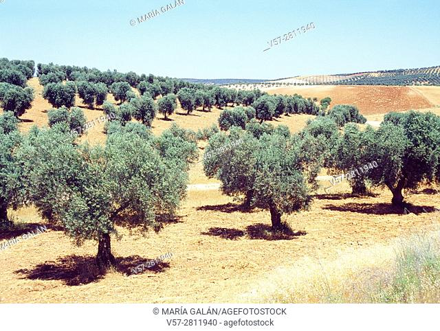 Olive groves. La Jara, Toledo province, Castilla La Mancha, Spain