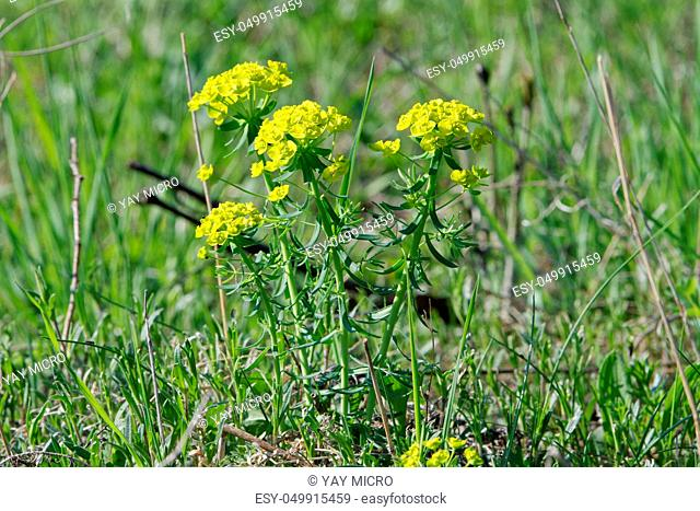 Cypress spurge (Euphorbia cyparissias) in a wild nature