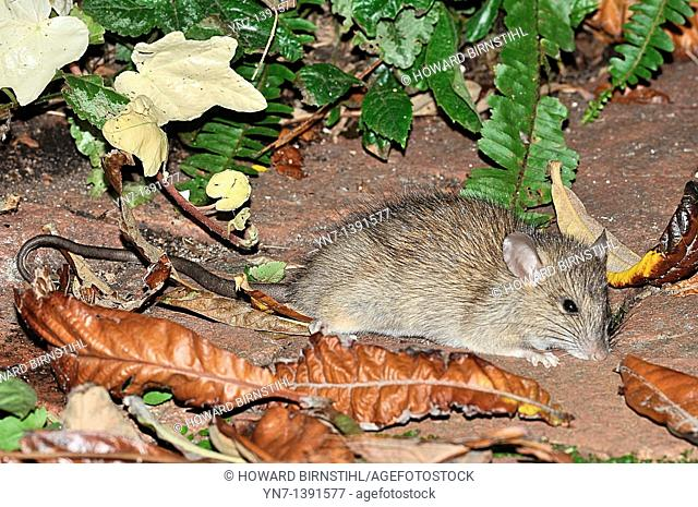 Close view of a brown rat Rattus norvetigus foraging in the backyard of a suburban home