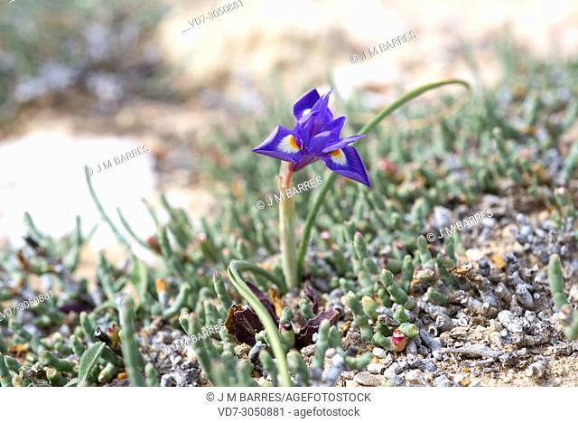Barbary nut (Gynandriris sisyrinchium or Moraea sisyrinchium) is a perennial plant native to Mediterranean region and Asia