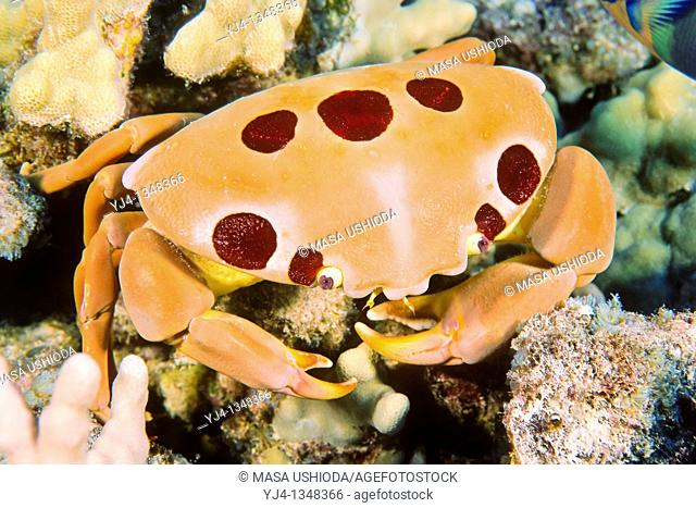 seven-eleven crab or dark finger coral crab, Carpilius maculatus, Kona Coast, Big Island, Hawaii, USA, Pacific Ocean