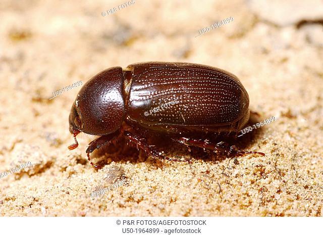 Scarab beetle on sand. Scarabeidae, Coleoptera