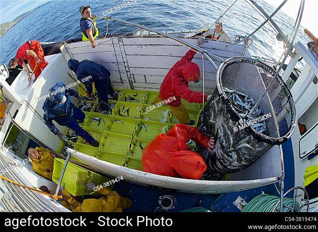 Purse-seine fishing. Sardines (Sardina pilchardus). Horse mackerel (Trachurus trachurus). Mackerel (Scomber scombrus). Chub mackerel (Scomber japonicus)
