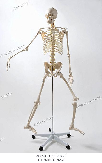 An anatomical skeleton model walking and gesturing