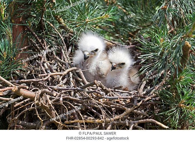 Red Kite Milvus milvus two chicks, sitting in nest, june captive