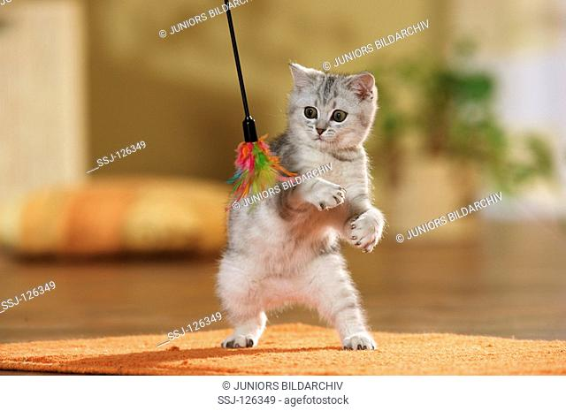 British Shorthair kitten - playing with feather restrictions:Tierratgeber-Bücher / animal guidebooks