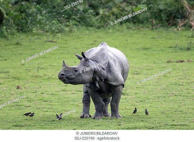Indian Rhinoceros (Rhinoceros unicornis). Adult and Jungle Mynas (Acridotheres fuscus) on grass. Kaziranga National Park, India