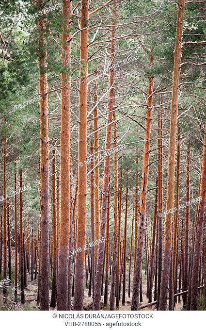 Forest of pine tree (Pinus sylvestris). Sierra de Gredos, Avila province, Castilla León region, Spain