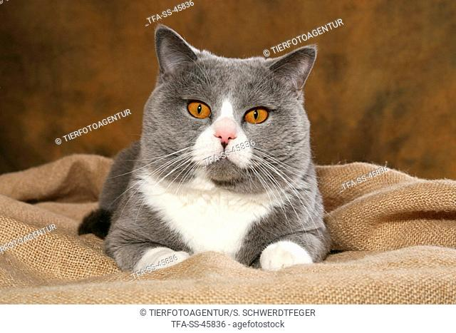 lying British Shorthair tomcat