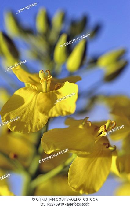 rapeseed blossoms, Eure-et-Loir department, Centre-Val de Loire region, France, Europe
