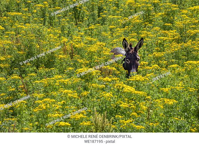 Donkey walking through tall yellow wildflowers in summertime in Northern Ireland
