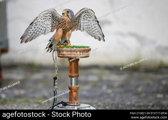 """21 August 2021, Baden-Wuerttemberg, Bad Mergentheim: A kestrel is seen on the grounds of the fantasy festival """"""""Annotopia"""""""" for visitors"""