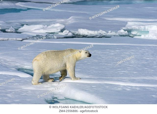 A polar bear (Ursus maritimus) is walking on the pack ice north of Svalbard, Norway