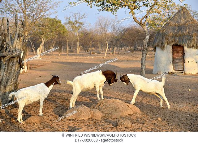 Himba goats. Kaokoveld, Northern Namibia