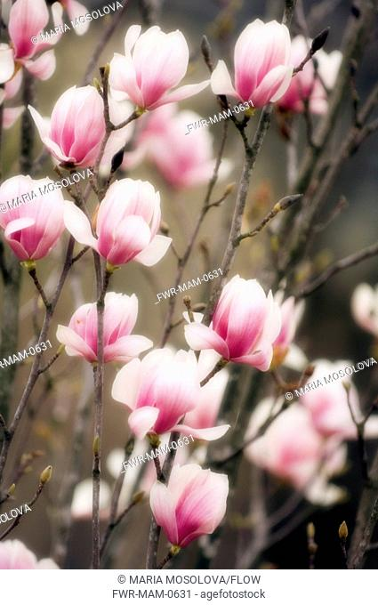 Magnolia x soulangeana 'Lennei', Magnolia