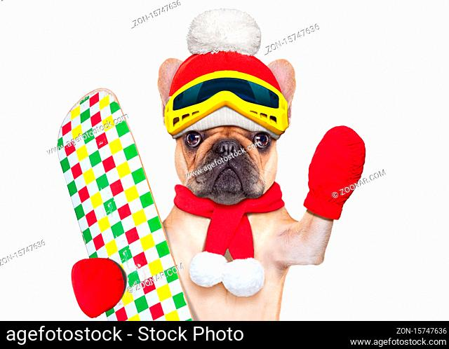 fawn french bulldog dog with ski equipment, wearing goggles , gloves , a hat and a red scarf, isolated on white background